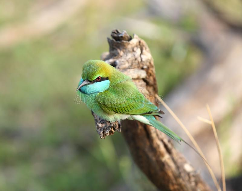 Weinig groene bij-eter, Merops-orientalis, Sri Lanka, Azië royalty-vrije stock afbeelding
