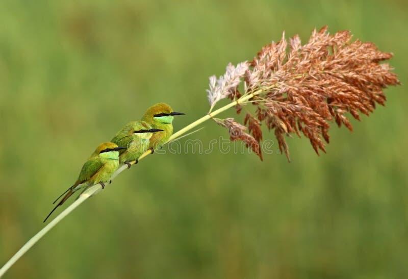 Weinig groene familie van de bijeneter royalty-vrije stock afbeelding