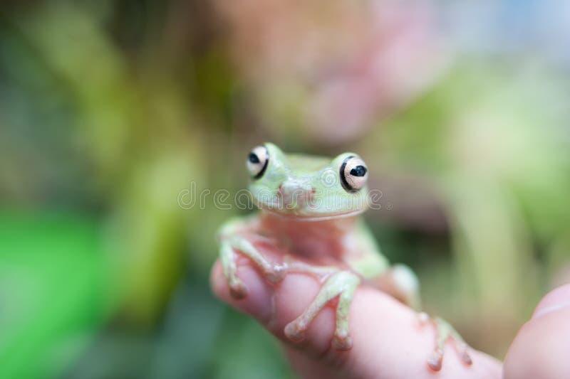 Weinig groene kikker stock afbeelding