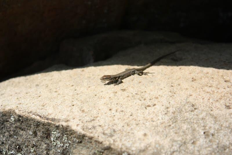 Weinig hagedis die op een rots zonnebaden royalty-vrije stock afbeelding