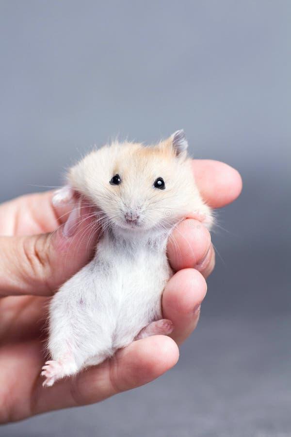 Weinig hamster in de handen van vrouwen royalty-vrije stock foto's