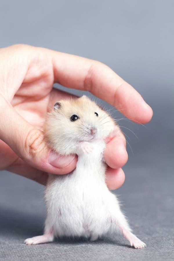 Weinig hamster in de handen van vrouwen stock afbeelding