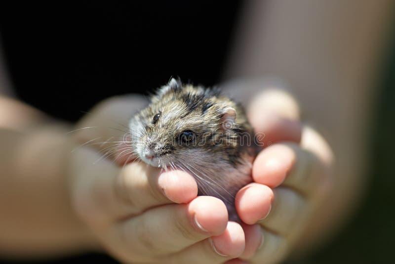 Weinig hamster in menselijke handen royalty-vrije stock foto