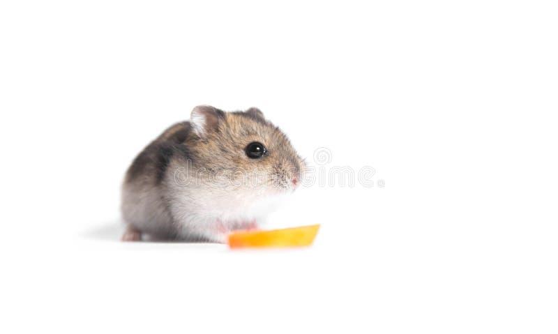Weinig hamster met stuk van wortel royalty-vrije stock foto