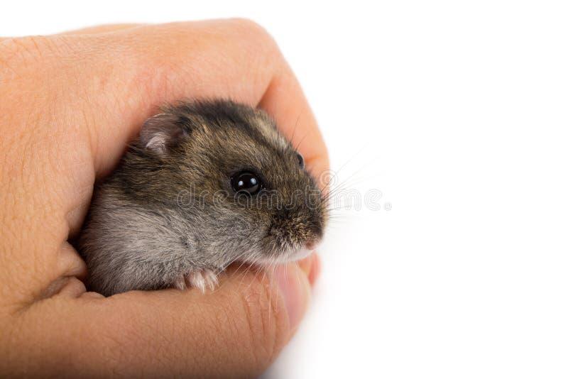 Weinig hamster ter beschikking royalty-vrije stock afbeelding