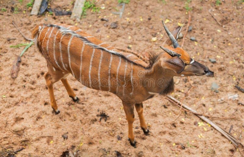 Weinig Hert in de dierentuin van Thaiiland royalty-vrije stock fotografie