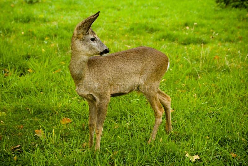 Weinig hert op een weide met groen gras royalty-vrije stock foto