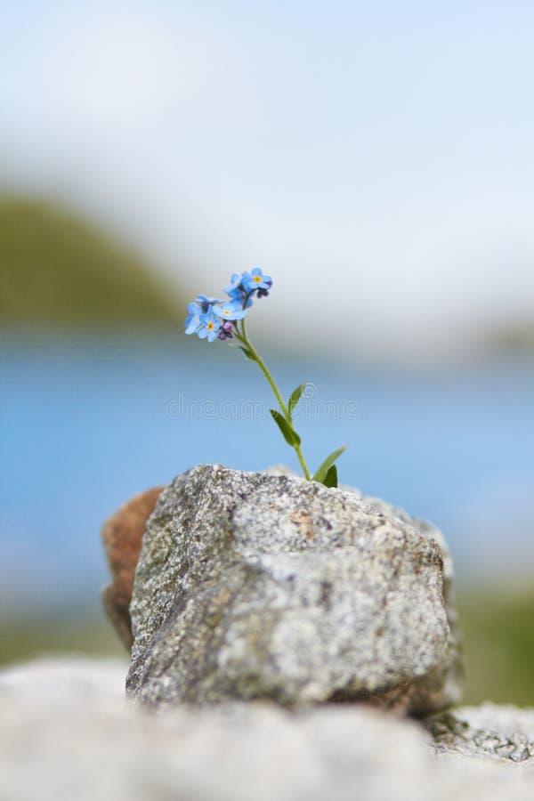 Weinig het blauwe bloem groeien van een steen in de bergen, closeu royalty-vrije stock afbeelding