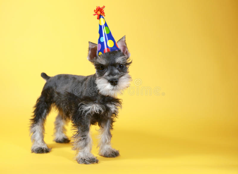 Weinig het Puppyhond van Minuature Schnauzer royalty-vrije stock afbeelding
