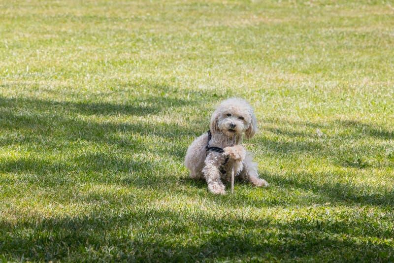 Weinig het witte poedelhond spelen in het gras met een stok stock afbeeldingen
