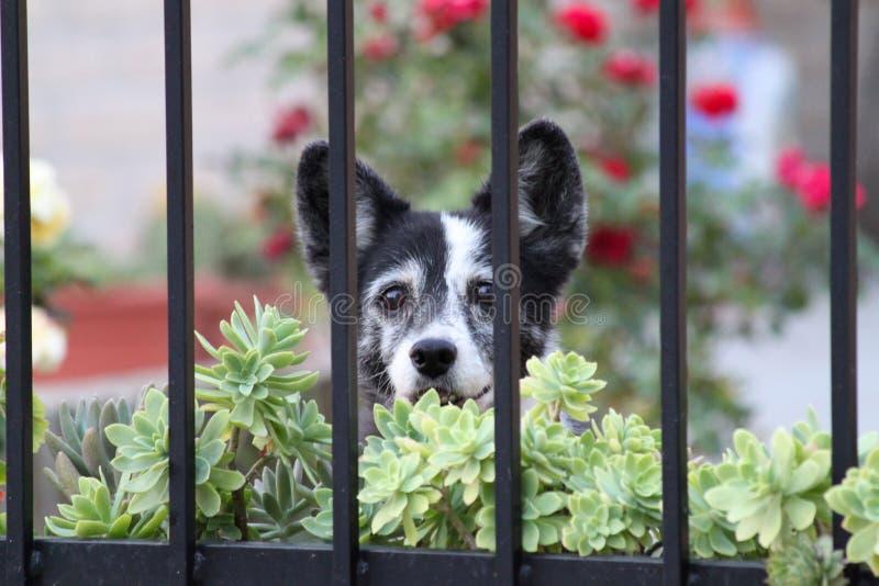 Weinig hond achter de poort stock foto