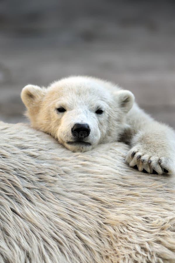 Weinig ijsbeerwelp die een rust heeft royalty-vrije stock foto