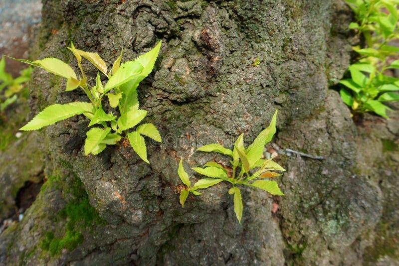 Weinig installatiespruit Jonge groene kleine spruiten op de schors van een oude boom stock foto's