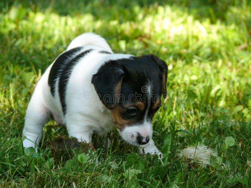 Weinig Jack Russell Terrier Puppy die wereld onderzoeken stock foto's