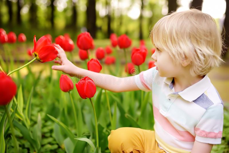 Weinig jongen bewondert rode tulpen in de tuin bij de de lente of de zomerdag royalty-vrije stock foto's