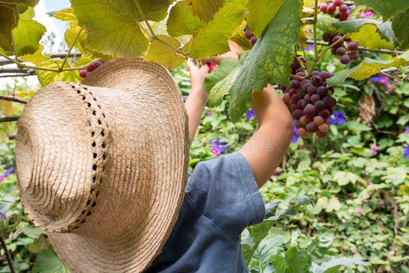 Weinig jongen het oogsten druiven bij de boomgaard van zijn familie stock afbeelding