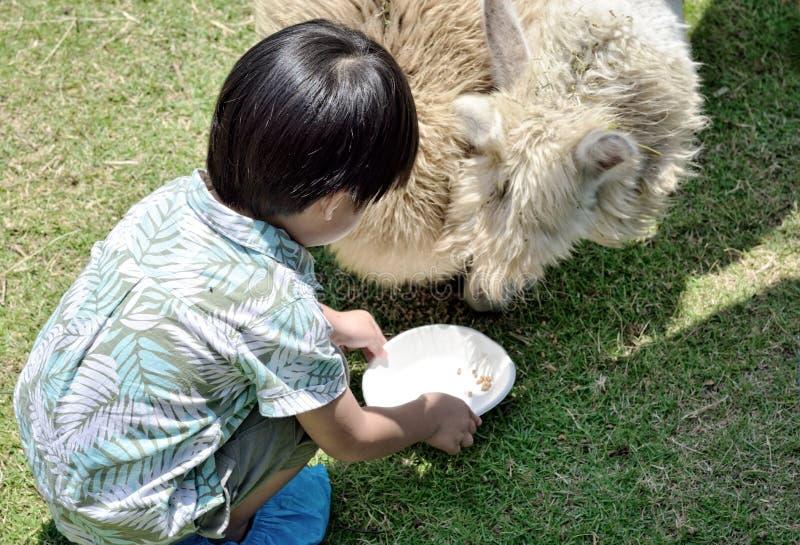 Weinig jongen het voeden alpaca in landbouwbedrijf: Close-up royalty-vrije stock afbeelding
