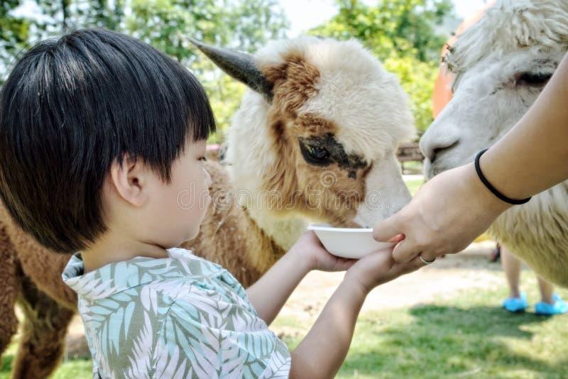 Weinig jongen het voeden alpacas in landbouwbedrijf: Close-up stock afbeelding