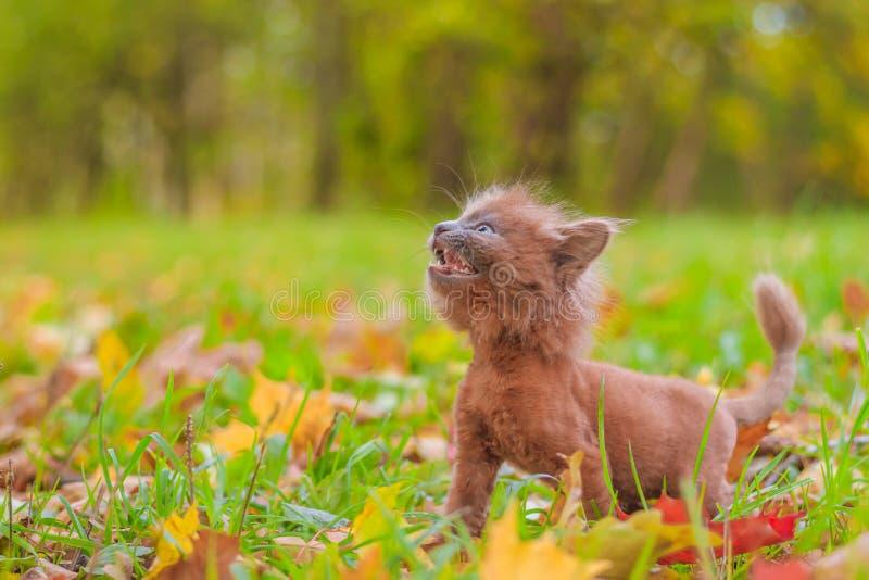 Weinig katje op een gang op het gras Het katje loopt Huisdier Pluizige rokerige kat met een kapsel De kat van het Groommerkapsel stock fotografie