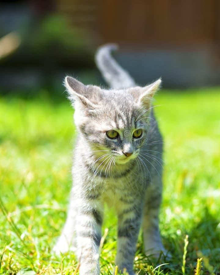 Weinig kattenportret Kleine en grijze kat stock foto's