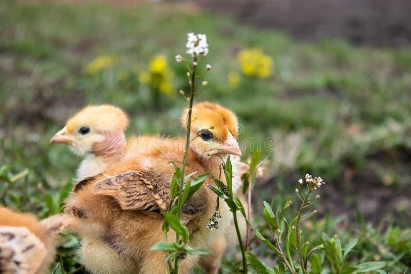 Weinig kip, gele kippen op het gras Grootbrengende kleine kippen Pluimveehouderij royalty-vrije stock fotografie