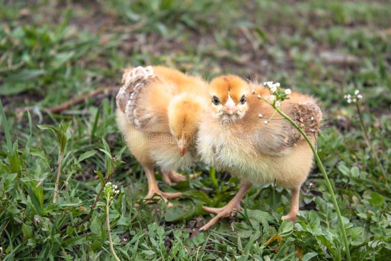 Weinig kip, gele kippen op het gras Grootbrengende kleine kippen Pluimveehouderij stock foto's