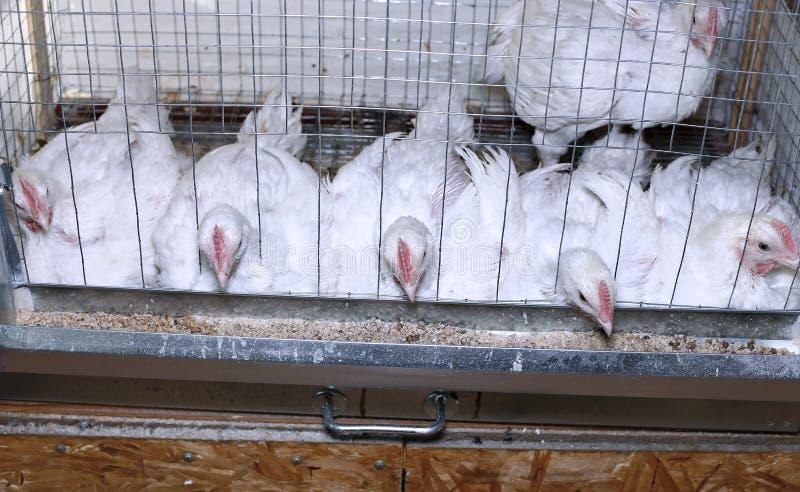 Weinig kippen die gecombineerd voer in de kooi eten royalty-vrije stock afbeelding