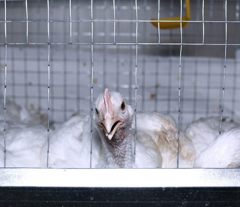 Weinig kippen die gecombineerd voer in de kooi eten royalty-vrije stock afbeeldingen
