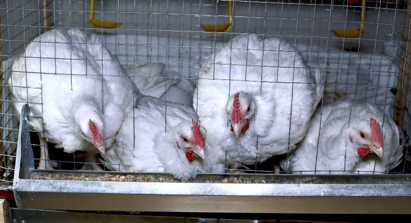 Weinig kippen die gecombineerd voer in de kooi eten stock foto