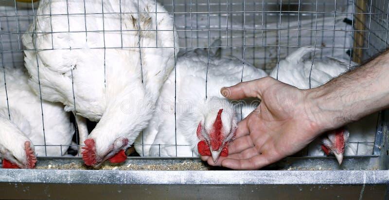Weinig kippen die gecombineerd voer in de kooi eten stock fotografie