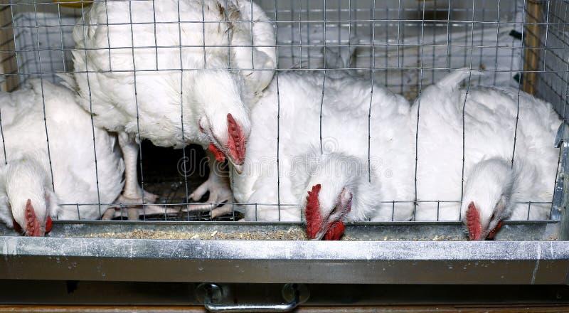 Weinig kippen die gecombineerd voer in de kooi eten royalty-vrije stock foto
