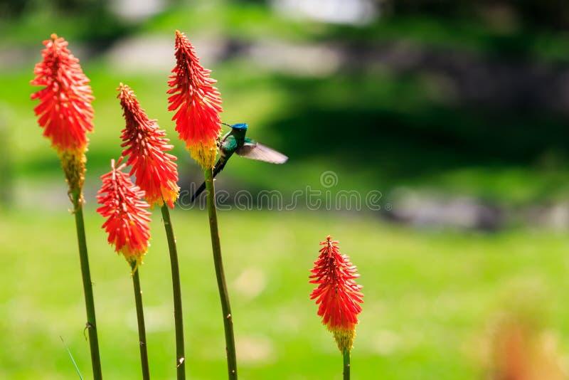 Weinig kolibrie †‹ stock afbeeldingen