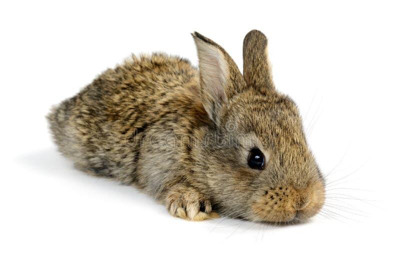 Weinig konijn stock foto's