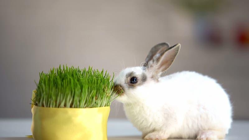 Weinig konijn die groen organisch gras, vitaminen eten vult, huisdierenzorg, ecologie aan royalty-vrije stock fotografie