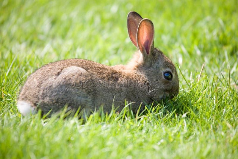 Weinig konijntje het weiden stock foto