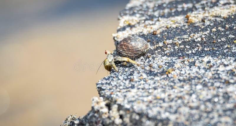 Weinig krab draagt zijn shell aan de rand van zijn wereld op het strand in heet zand langs kustwateren stock foto's