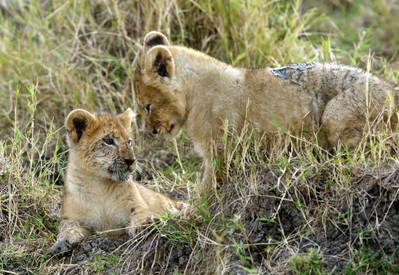 Weinig leeuw werpt, Masai Mara royalty-vrije stock afbeelding