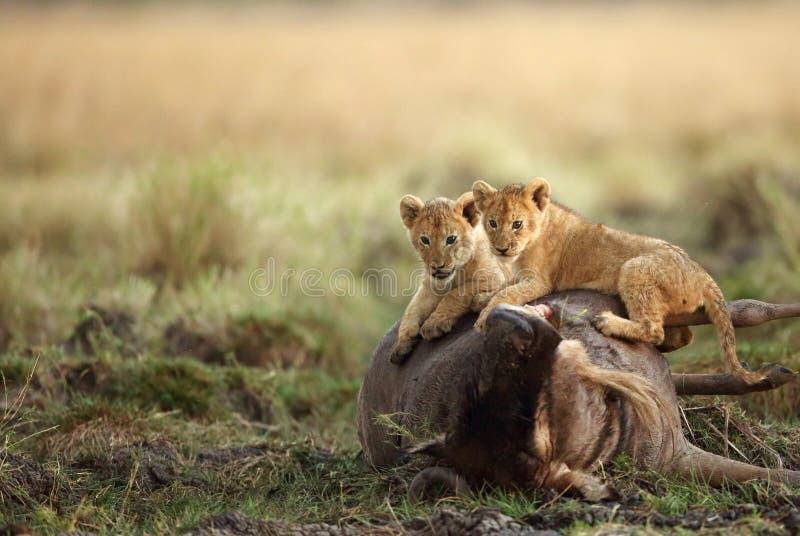 Weinig leeuw werpt op de bovenkant van het meest wildebeest karkas stock fotografie