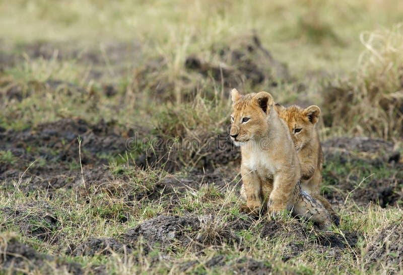 Weinig leeuw werpt prettijd in Masai Mara royalty-vrije stock afbeeldingen