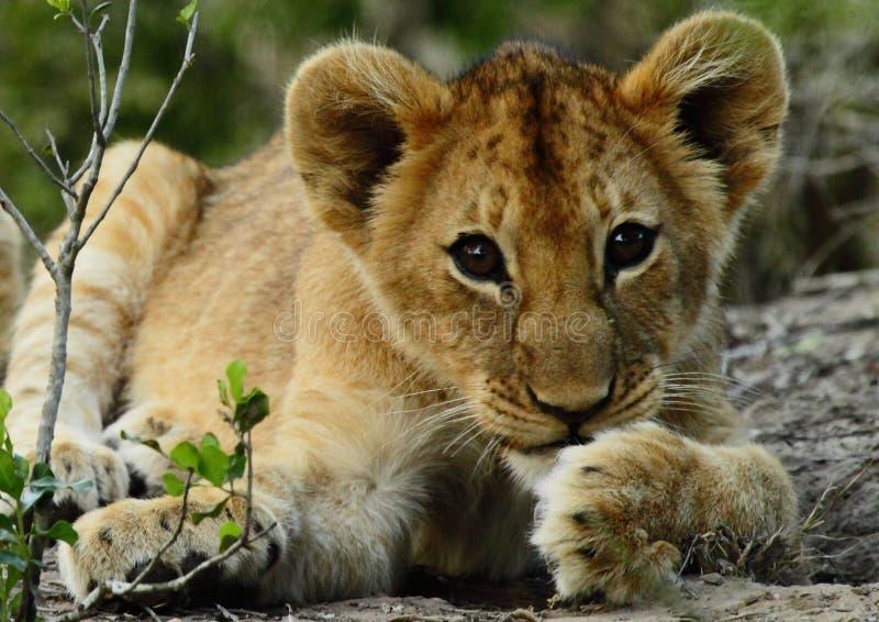 Weinig leeuwwelp royalty-vrije stock afbeelding