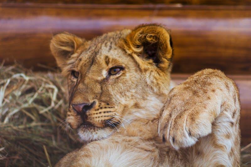 Weinig leeuwwelp ligt royalty-vrije stock foto's