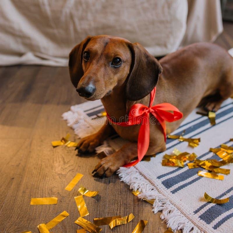 Weinig leuk bruin tekkelpuppy met rood halsboord Kerstmis is op achtergrond stock afbeelding