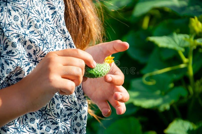 Weinig leuk meisje met een lange vlecht, die een komkommer eten van de tuin wordt geplukt stock afbeeldingen