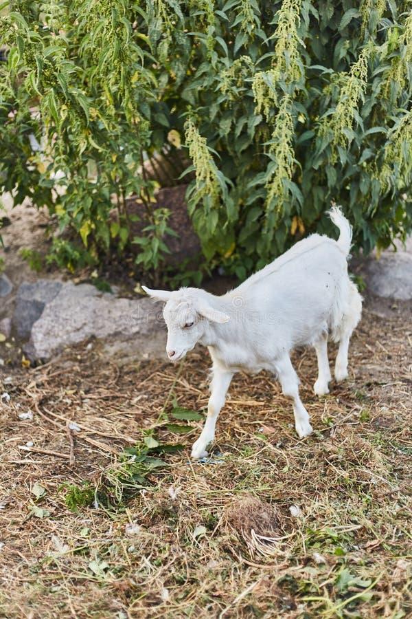 Weinig leuk wit jong geitje op een landbouwbedrijf royalty-vrije stock afbeelding