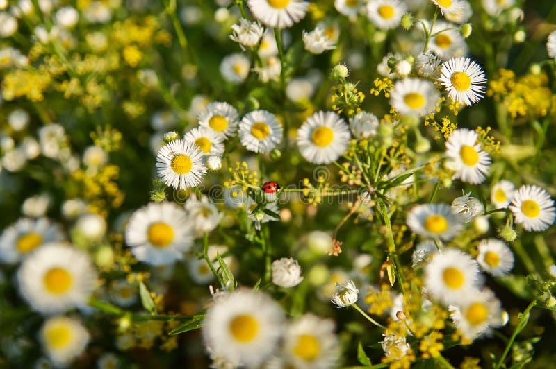 Weinig lieveheersbeestje onder de bloemen en de kruiden stock fotografie