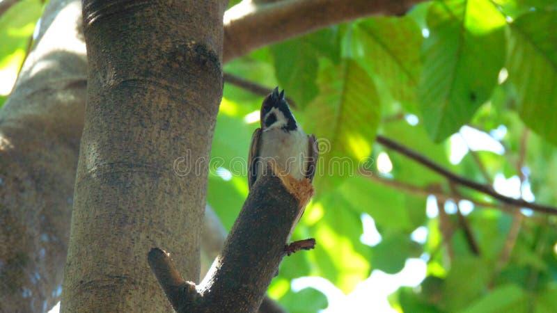 Weinig Maya Birds royalty-vrije stock afbeelding