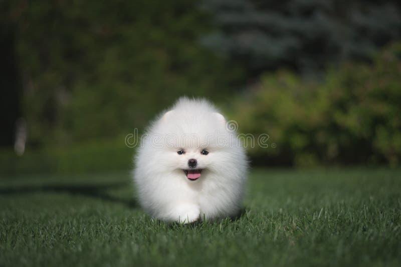 Weinig mooi grappig wit hond Duits spitz puppy op groene graslooppas speelt en zit stock afbeeldingen