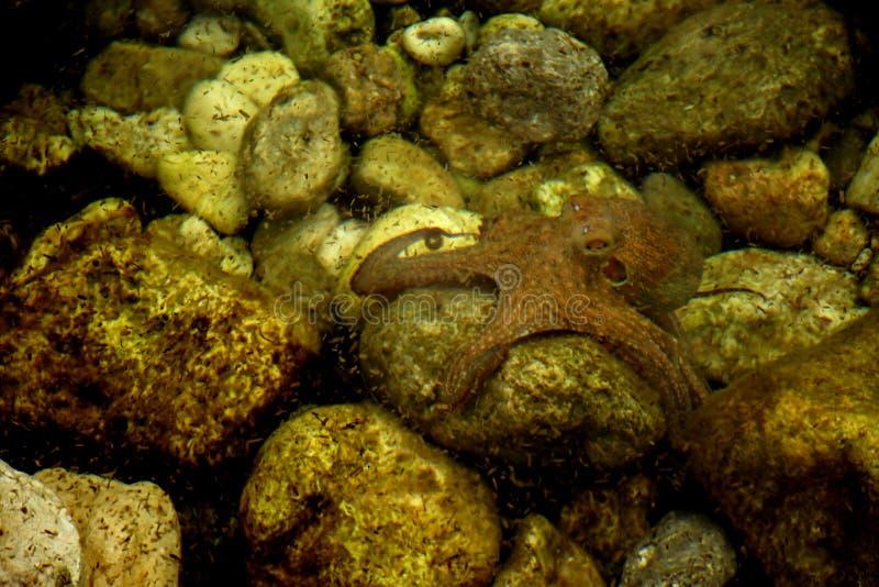 Weinig octopus stock foto's