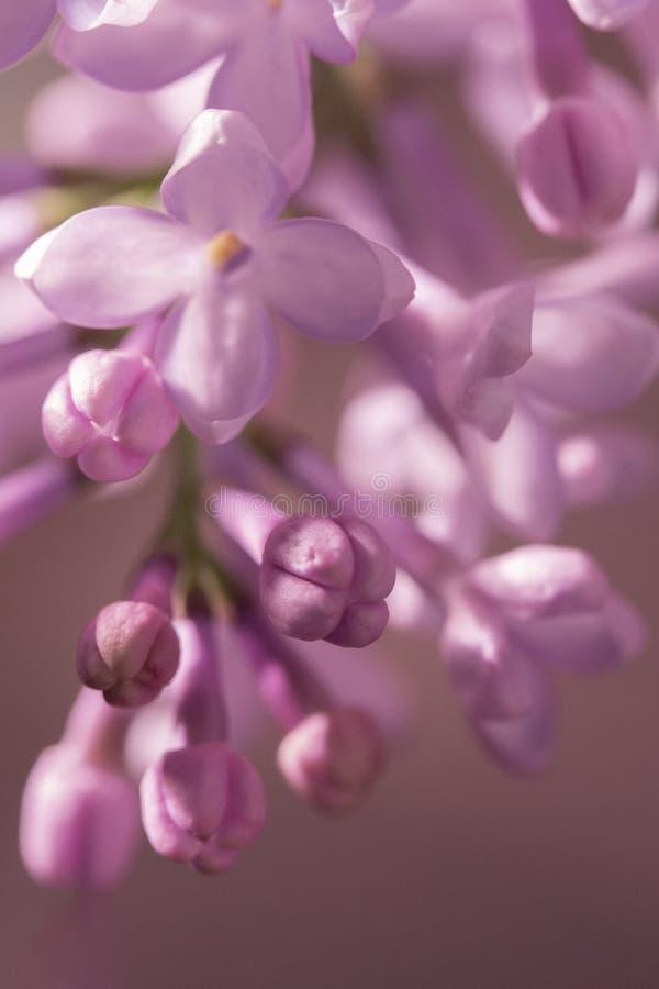 Weinig offerte ontluikt close-up Mooie vage achtergrond, ongeopende kleine purpere lilac bloemen royalty-vrije stock fotografie