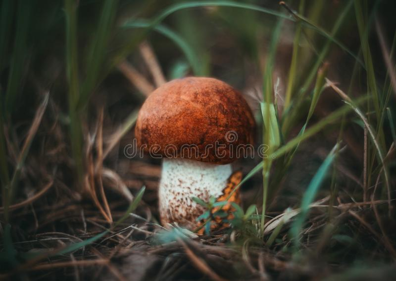 Weinig oranje-GLB boleet, esppaddestoel in het gras in het bosclose-up Paddestoel met oranje bruine suèdehoed  royalty-vrije stock afbeeldingen